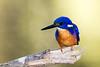 Azure Kingfisher, Eungella NP, Australia (Manuel ROMARIS) Tags: australia azurekingfisher eungellanationalpark brokenriver queensland au