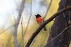 Scarlet Robin : He's so bright! (Derek Midgley) Tags: dsc9800 scarlet robin male petroicaboodang np