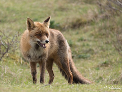 Fox (pclaesen) Tags: fox vos vulpesvulpes awd amsterdamsewaterleidingduinen zandvoort nederland netherlands holland animal animals mammal mammals animalphotography nikon nikonphotography nikonshots nikond3200 nikkor18300mm ngc