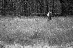Out Grazing (danfryer2) Tags: spring barn monochrome nature mono horse nikond7200 blackandwhite trigger