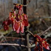 Red Maple samaras (Dendroica cerulea) Tags: redmaple acerrubrum acer hippocastanoideae sapindaceae sapindales maple tree samara seeds spring wildlifeobservationcenter greatswamp greatswampnationalwildliferefuge greatswampnwr morriscounty nj newjersey