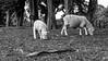 Bonding Meal (MrTheEdge7) Tags: onetreehill newzealand aotearoa auckland aucklandnz nz kiwi sheep blackandwhite bw lamb grazing maori northisland