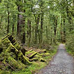 New Zealand beech forest thumbnail