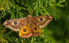 butterfly (06) - Aglia tau (Vlado Ferenčić) Tags: butterfly closeup vladoferencic macro closeupmacro vladimirferencic agliatau hrvatska croatia podravina nikond600 sigma15028macro animals animalplanet noćnopaunće novovirje medvedička