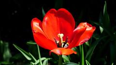 Tulipan. (andrzejskałuba) Tags: polska poland pieszyce dolnyśląsk silesia sudety europe panasoniclumixfz200 roślina plant kwiat flower tulipan tulip czerwony red zieleń green garden ogród natura nature macro cień sunset 100v10f
