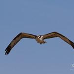 Male Osprey returning to the nest thumbnail