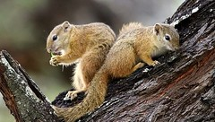 Squirrels   ... mr&mrs  ... at Letaba camp (Hannah 0013) Tags: squirrel canon 500mm nature wildlife tree coth5