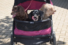 Out For A Stroll (Tobyotter) Tags: link frank jimmydean dachshund stroller