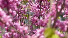 Botanischer Garten April 2018 (nick1017) Tags: pflanzen münchen botanischergartenmünchen botanischergarten