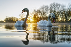 Partners in Crime (Mark BJ) Tags: daisynook countrypark crimelake swans sunrise dawn reflection trees lake ripples wake distorted cygnusolor muteswan failsworth manchester uk hollinwoodcanal peaceful beautiful creature feeding pen cob oldham