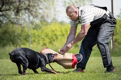 Meine! (zola.kovacsh) Tags: outdoor animal pet dog ipo schutzhund dobermann doberman pinscher