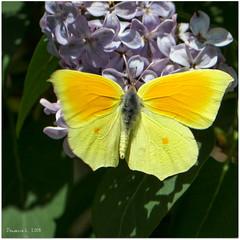 P1007215 (daniellelallemand) Tags: citrondeprovence gonepteryxcleopatra papillon pieridae hautegaronne