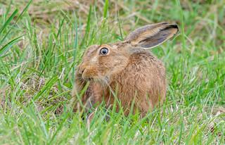 JWL9306  Brown Hare...