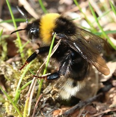 Gypsy cuckoo bee Bombus bohemicus apidae (BSCG (Badenoch and Strathspey Conservation Group)) Tags: acm bombus cuckoobee insect hymenoptera apidae april sunshine woodlandedge worn