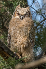 Great Horned Owlet (Explored Thank you.) (Kevin E Fox) Tags: