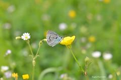 ... Glaucopsyche alexis (Plebejus argus) Tags: glaucopsychealexis licenidi farfalle butterflies lepidotteri insetti valledeisanti montilepini lazio it nikon7000 sigma150macro