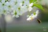 Im Anflug auf die Blüte (junghahn24) Tags: berlin blossom blüte cherry frühling griechischelandschildkröte kirsche landschildkröte olympus olympusm45mmf18 olympusomd olympusomdem5 schildkröte speedy spring teamolympus turtle deutschland de