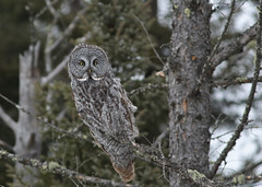 Great Gray Owl...#4 (Guy Lichter Photography - 4M views Thank you) Tags: canon 5d3 canada manitoba elma wildlife animal animals bird birds owl owls