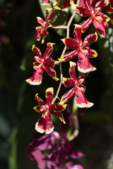 IMG_1206 (jaglazier) Tags: 2018 32418 botanicalgardens bronx greenhouses march newyork newyorkbotanicalgarden orchidshow orchidaceae red usa copyright2018jamesaglazier flowers gardens orchids parks plants yellow bronxcounty unitedstates