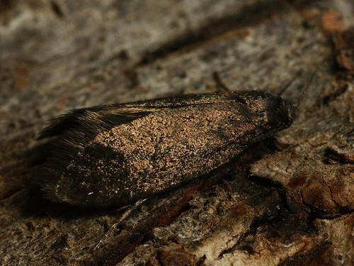 Lypusa maurella