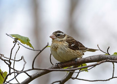 Rose-breasted Grosbeak (av8s) Tags: rosebreastedgrosbeak grosbeak birds perchingbirds songbirds nature wildlife pennsylvania pa photography nikon d7100 sigma 120400mm