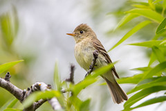 Pacific-slope Flycatcher (X85_7405-1) (Eric SF) Tags: pacificslopeflycatcher flycatcher bird garinregionalpark hayward ca