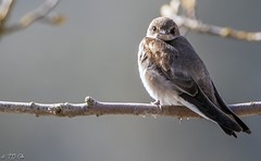 Swallow (TD Cole) Tags: wildlife wildlifephotography idaho washington montana naturephotography naturephoto naturelovers mothernature nature natureshot bird birds chickadee