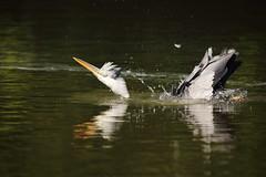 Taking a bath (Teruhide Tomori) Tags: greyheron animal nature bird kyoto japan wild アオサギ 自然 京都 日本 tree green 野生 野鳥 japon water pond