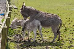 P1250230_edit (The Oldhams) Tags: cornwall donkeys flickadonkeysanctuary