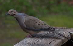 Afternoon visitor (Violet aka vbd) Tags: pentax k3 vbd hdpentaxda55300mmf4563edplmwrre ct connecticut bird newengland mourningdove bokeh 2018 spring2018 trumbull handheld