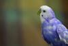 Maviş derler adına (frknblr) Tags: coth5 macromondays budgie white fish blue nature bird eos canon animal hayvan muhabbetkuşu turkey türkiye kuş konya beyşehir