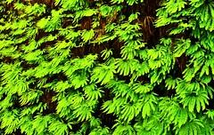 Hands (kevinfoxphotography53) Tags: ferns ferncanyon kevinfoxphotography redwood national park