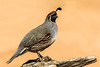 Gamble's Quail (gilamonster8) Tags: gambles quail upland bird wood log bokeh beyondbokeh beak black brown branch ngc flickrelite fly perched perch explore explored canon eos ef400mm56l eyes eyeball 5dmarkiv arizona tucson tail talons view yellow orange common crowned