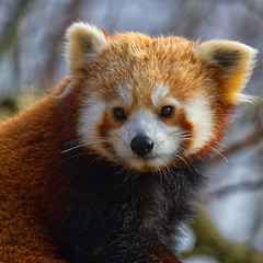 Red Panda (Margaret S.S) Tags: red panda captive