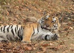 Bengal Tiger - Panthera tigris (Gary Faulkner's wildlife photography) Tags: tiger pantheratigris