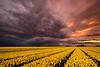 Color explosion (Ellen van den Doel) Tags: 2018 tulpen natuur netherlands flowers nature fotografie nederland bloemen goeree bulb landschap bollenveld zonsondergang tulips bollenstreek sunset overflakkee landscape april nieuwetonge zuidholland nl outdoor
