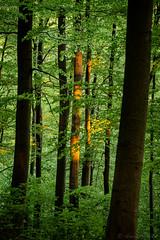 Forest at Sunset (tewahipounamu) Tags: bielsteingorge bielsteinschlucht deutschland eastwestphalia egge eggegebirge forest germany naturparkteutoburgerwaldeggegebirge owl ostwestfalenlippe teutoburgforesteggehillsnaturepark tree