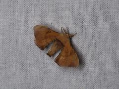 Trilocha varians (dhobern) Tags: 2018 china lepidoptera march xtbg xishuangbanna yunnan bombycidae trilochavarians