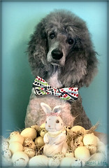 Easter Poodle 13/52 (SpooAddicts & the SpooCrew) Tags: 52weeksfordogs myles easter easterdog eggs easterbunny poodle standardpoodle partipoodle