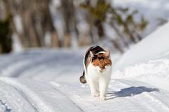 på hjemvei (KvikneFoto) Tags: åsta katt cat vinter winter snø snow bokeh tamron nikon