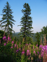 DSC01390 (RD1630) Tags: silverstarmountainresort vernon britishcolumbia canada july2017 kanada mountains berge outside outdoor summer holiday vacation nature