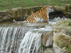 Tschuna's bath time (LadyRaptor) Tags: yorkshirewildlifepark yorkshire wildlife park doncaster ywp nature outdoors spring time springtime warm sunny grass rock rocks water pool waterfall bubbles splashing droplets sitting looking watching bath bathtime bathe bathing relaxed happy content cute animal animals predator carnivore feline felines felidae felid large big cat cats stripes stripy striped amur siberian tiger tigers panthera tigris altaica landofthetiger adult female tigress beautiful tschuna