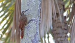 Moustached Woodcreeper (Xiphocolaptes falcirostris)