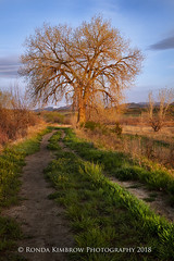 Glowing in the Sunshine (RondaKimbrow) Tags: tree sunrise glow lone morning trail spring mountains noone path hiking openspace loveland colorado larimercounty beautiful scenic tranquil serene trunk branch bark limbs sky blue countryside bright sunlight sun view weather landscape background rural green growth natural nature ecology envronment dirt dramatic