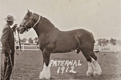 'Paternal' - Champion horse - 1912 (Aussie~mobs) Tags: henley southaustralia vintage paternal champion horse 1912 winner stud draughthorse clydesdale