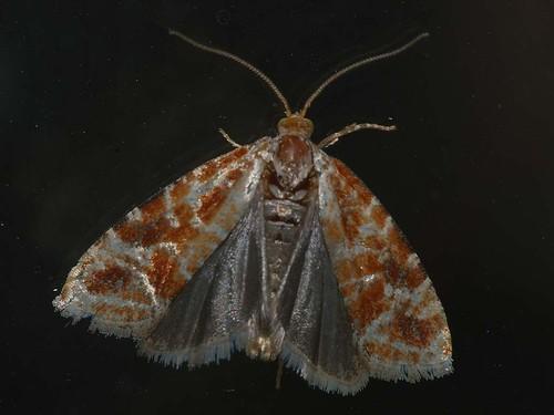 Rhyacionia pinicolana - Побеговьюн сосновый