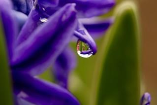 Hyacinth's raindrop