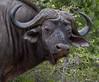 Cape Buffalo (jimbobphoto) Tags: earsnose black strong scary animal addo bull horn eye africa