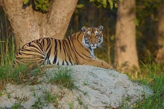 the Look of the Tiger (cirdantravels (Fons Buts)) Tags: panthera tigris tiger tijger tigre felidae feline bigcat carnivora carnivore feliformia bengaltiger bengaalsetijger dudhwa projecttiger kishanpur cat kat tigerreserve coth5 ngc