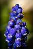 Grape hyacinth - Perlhyazinthe (cgruenberg) Tags: perlhyazinthe grape hyacinth blau blue water drop garten garden spring flower blume frühling